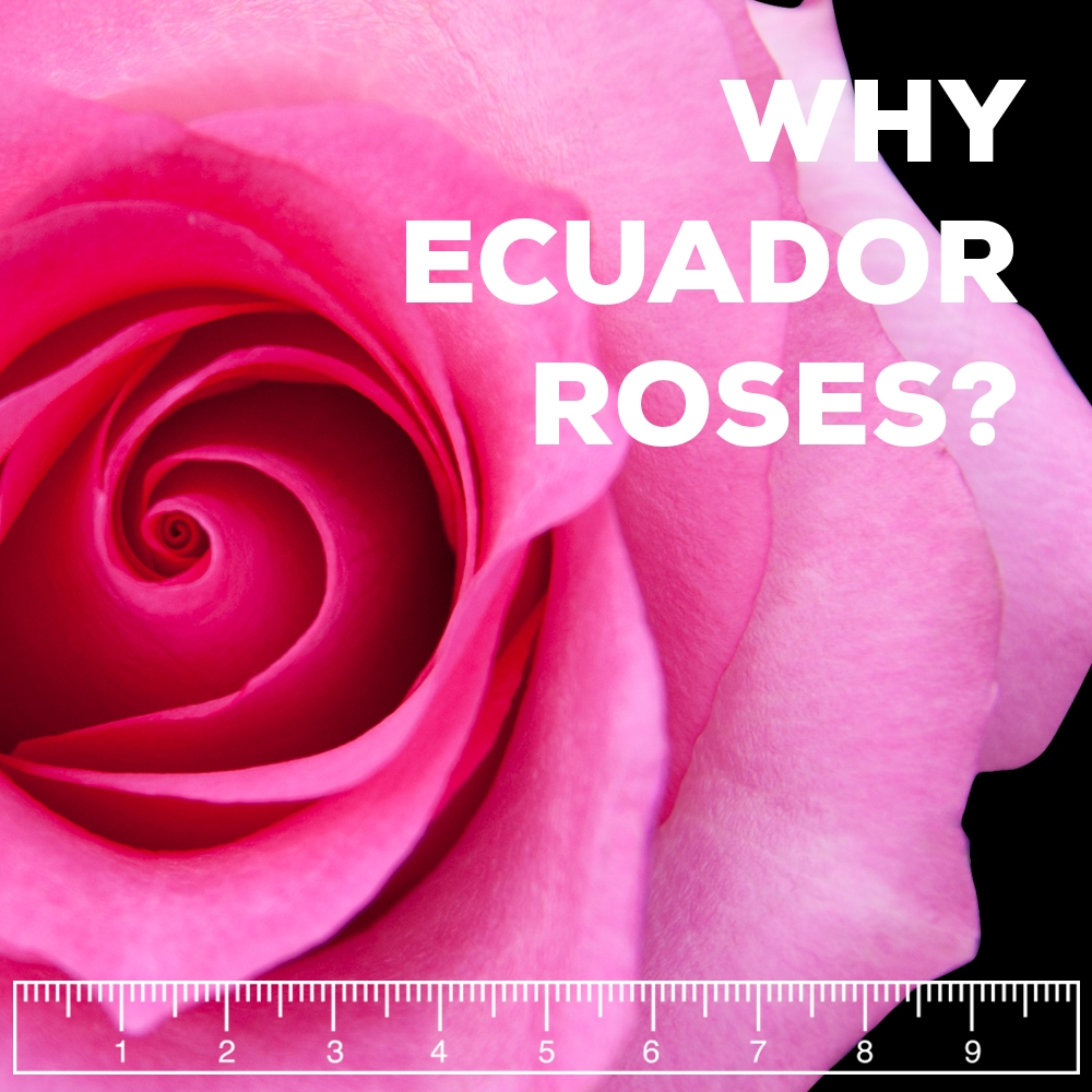 Wholesale Roses Ecuador – Why Are They The Best Roses In The World?