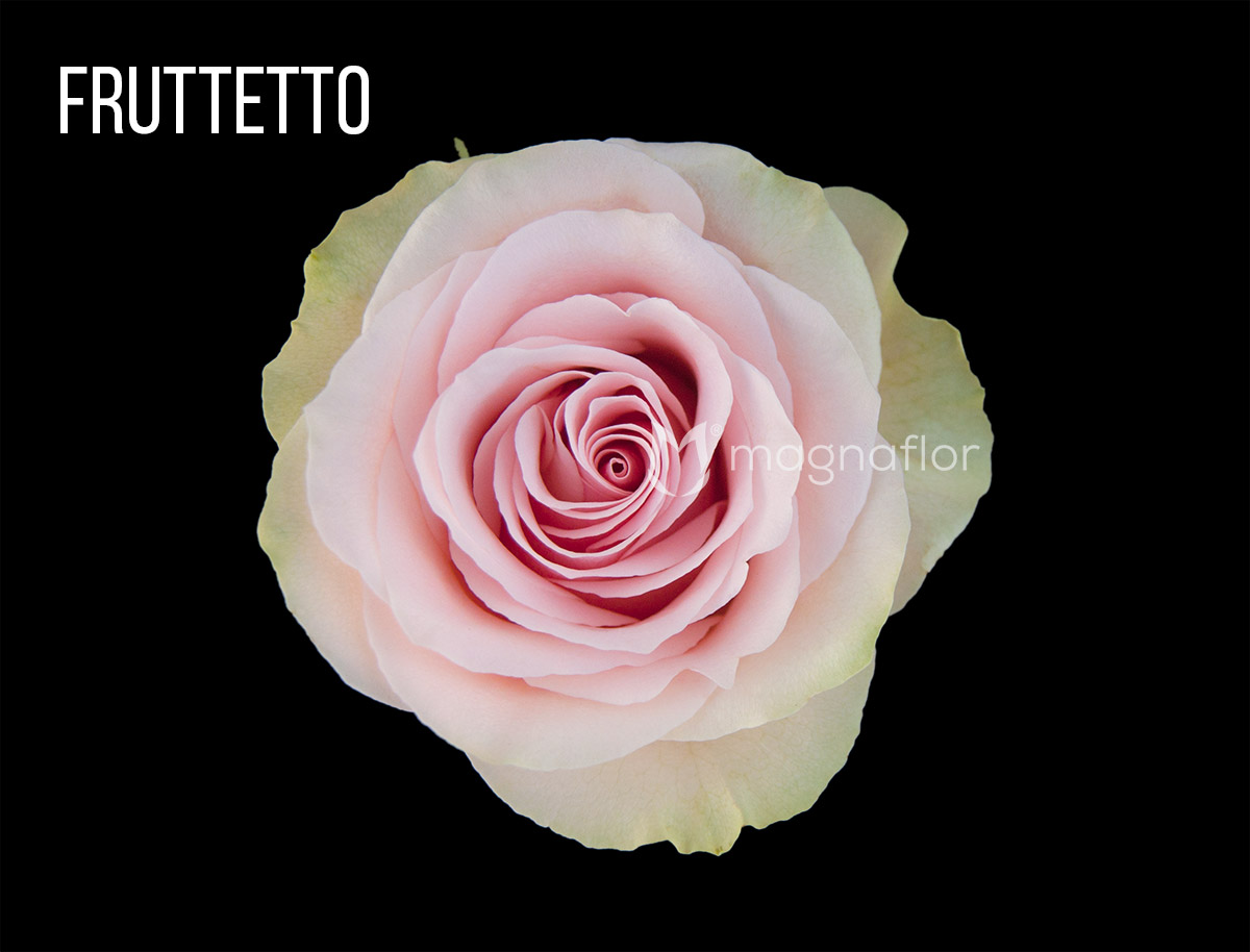 Fruttetto Whoelsale Rose1