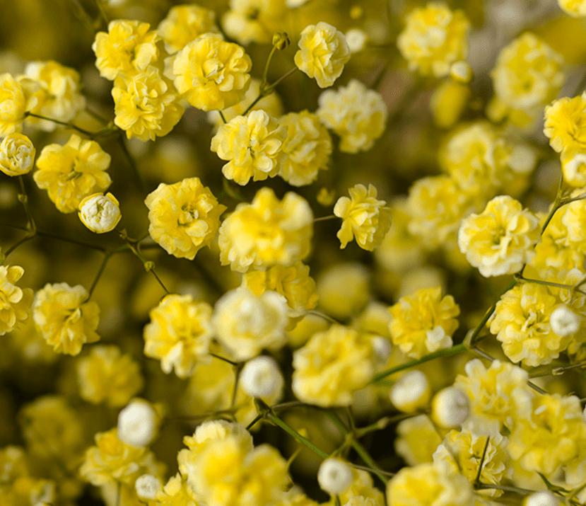 yellow babys breath