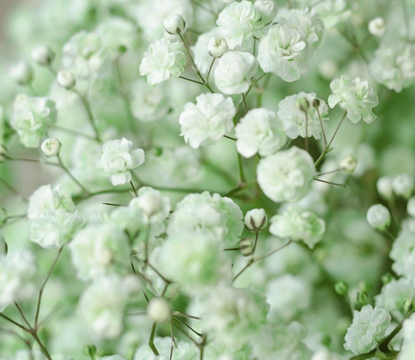 light green babys breath