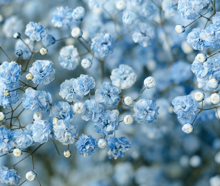 light blue baby's breath
