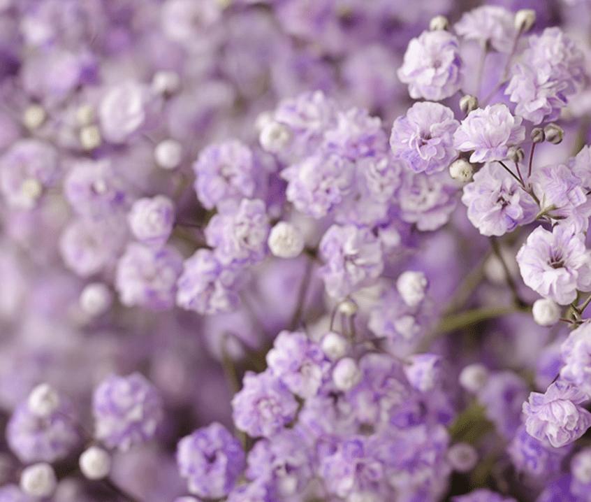 buy lavender babys breath bulks