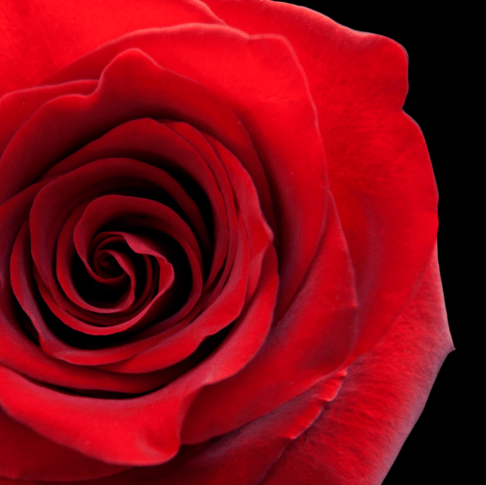 Red Roses Whats Their Meaning And The Best Pace To Order Them