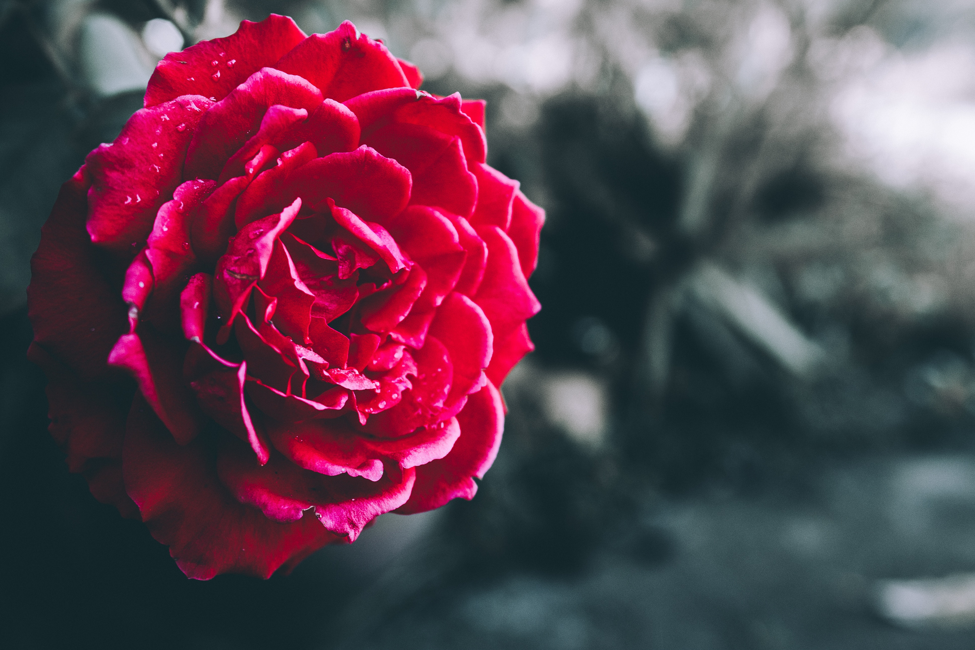 Rose Poetry: A Genre All Its Own