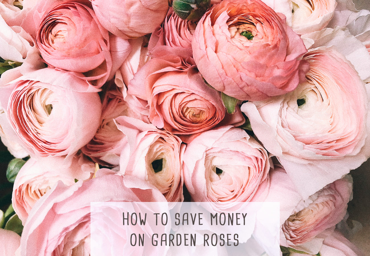 How To Save Money On Garden Roses