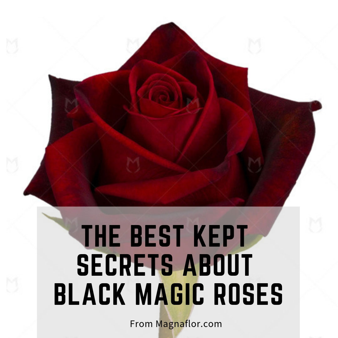 The Best Kept Secrets About Black Magic Roses